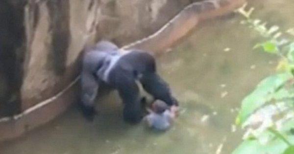 Ένα μικρό παιδί πέφτει στο περίβλημα ενός γορίλα σε ζωολογικό κήπο
