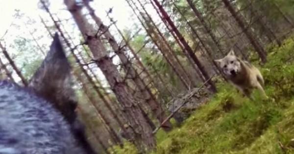 Συγκινητικό βιντεο: Δείτε τη μάχη ενός σκύλου με δύο λύκους για να σώσει το αφεντικό του