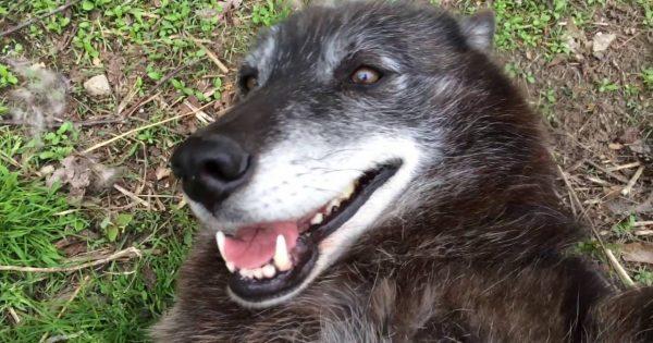 Ένας πολύ χαρούμενος λύκος