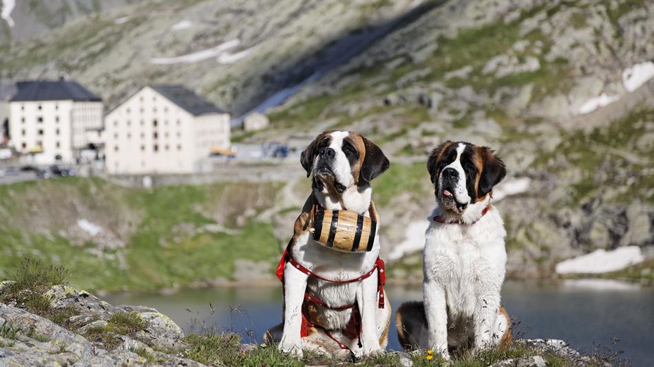 Σκύλος διάσωση Αγίου βερνάρδου