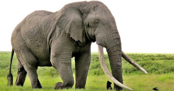 Οι Ιάπωνες υποστηρίζουν πως την καλύτερη «μύτη» δεν τη διαθέτει ο σκύλος αλλά… ο ελέφαντας