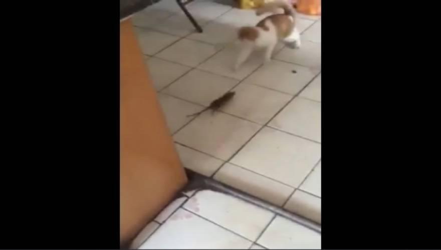 ποντίκι Γάτα