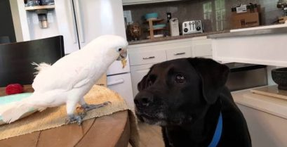 Epic βίντεο: Ο παπαγάλος ταΐζει το λαμπραντόρ!
