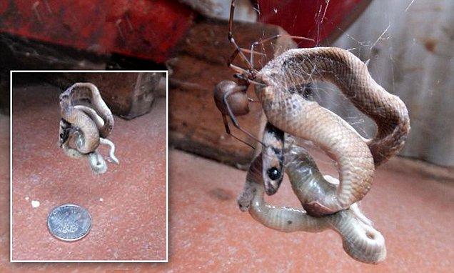 φίδι αράχνη