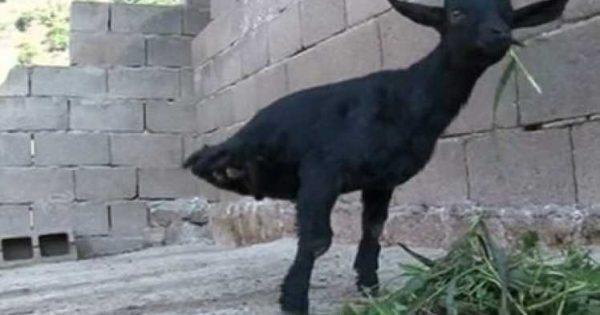 Η Δυναμική κατσίκα με τα δυο πόδια! (βίντεο)
