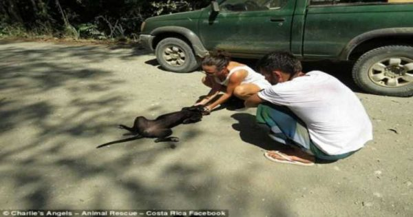 Εγκαταλελειμμένος, πεινασμένος και αφυδατωμένος σκύλος, λυγίζει και κλαίει όταν μια γυναίκα τον σώζει!