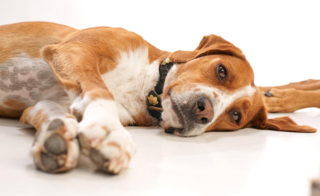 ημίαιμος σκύλος ημίαιμο Αδέσποτα