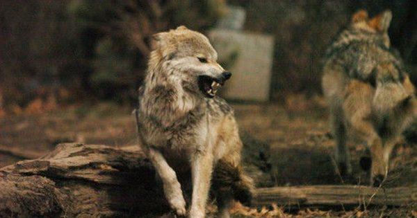 Οι λύκοι εξημερώθηκαν σε σκύλους και στην Ασία και στην Ευρώπη
