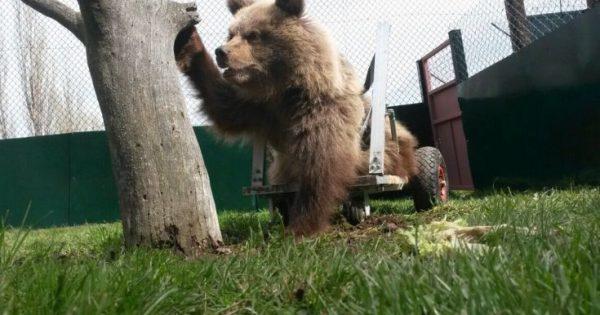 Ειδικό καροτσάκι για ένα μικρό αρκούδο με αναπηρία