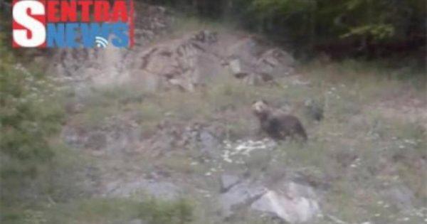 Αρκούδα πέταξε πέτρα σε οδηγό στη Βίγλα για να προστατεύσει το μικρό της (βίντεο)