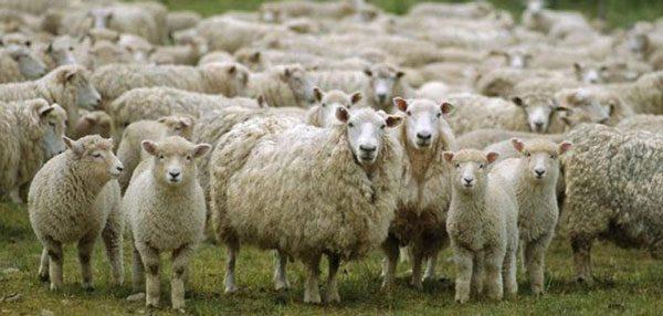 Πρόβατα έφαγαν ινδική κάνναβη και «γκρέμισαν» ολόκληρο χωριό!