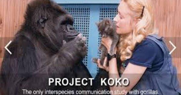 Κόκο: Ο γορίλας που μιλάει στους ανθρώπους! (βίντεο)
