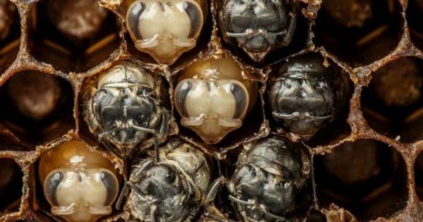 Τα στάδια ανάπτυξης της μέλισσας μέσα από time-Lapse βίντεο