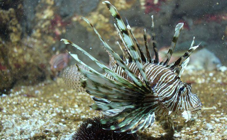 Μεσόγειος λεοντόψαρο