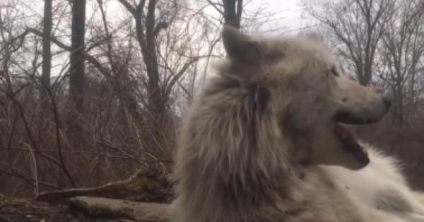 Ο πιο τεμπέλης λύκος προσπαθεί να γρυλίσει