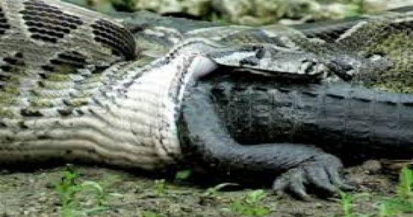 Δείτε τι έπαθε αυτός ο πύθωνας όταν κατάπιε έναν ολόκληρο αλιγάτορα! (βίντεο)
