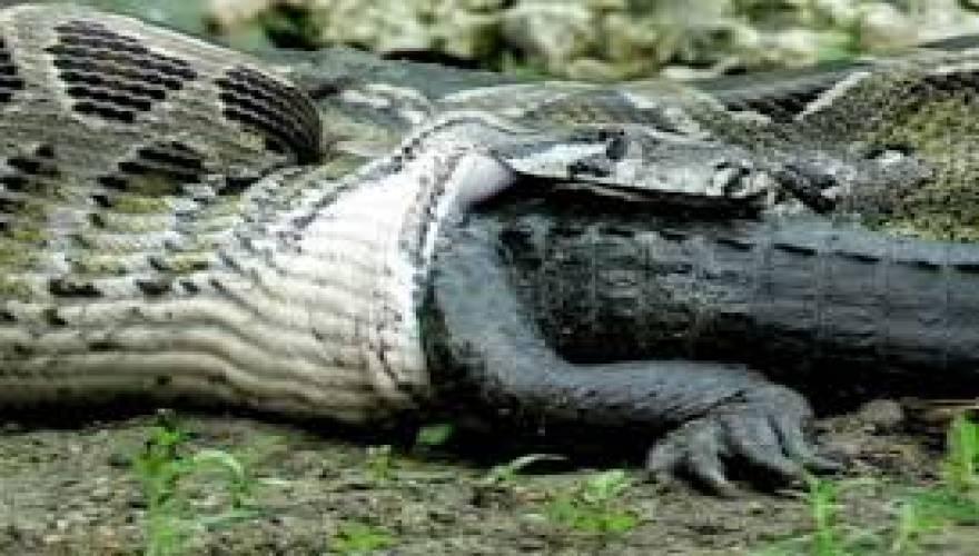 πύθωνας αλιγάτορας