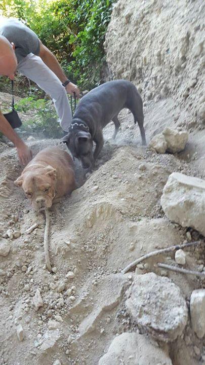 κακοποίηση ζώων γαλλικό Mastiff