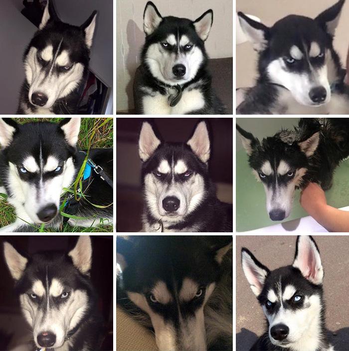 Χάσκι Σκύλος