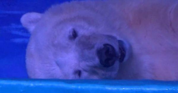 Αίσχος: Η πιο θλιμμένη πολική αρκούδα – Παγιδευμένη για να βγάζουν selfies οι πελάτες εμπορικού (βίντεο)