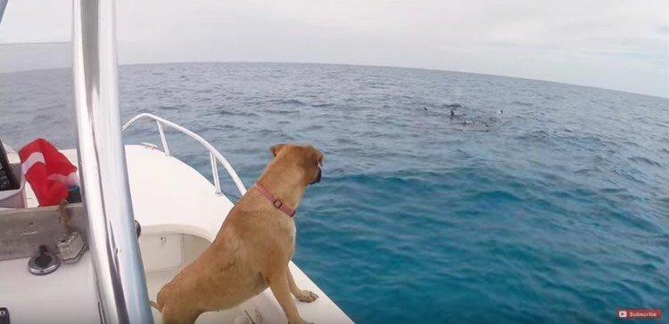 Σκύλος δελφίνια