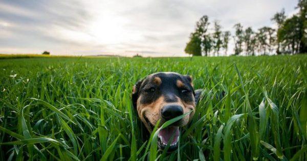 Τι είναι τα άγανα και πώς κινδυνεύει ο σκύλος σας