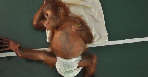 Ουρακοτάγκος 7 μηνών διασώθηκε από τους λαθρεμπόρους και κλέβει καρδιές στην Ινδονησία