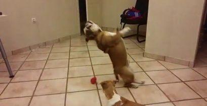 Το μπουλντόγκ προσπαθεί να πιάσει ένα μπαλάκι