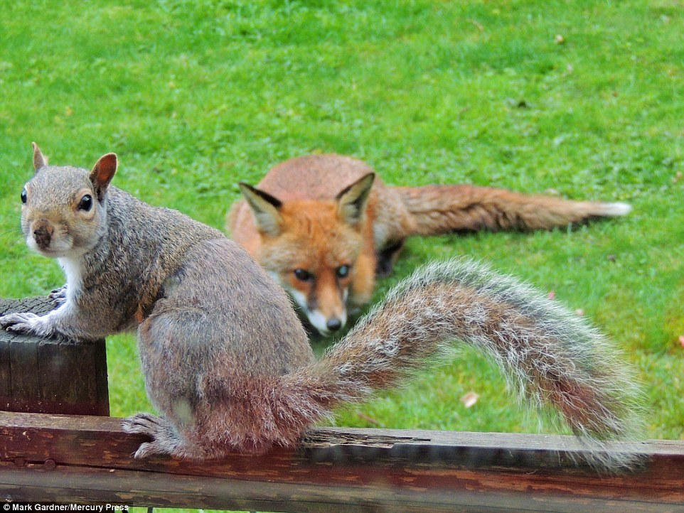 σκίουρος αλεπού