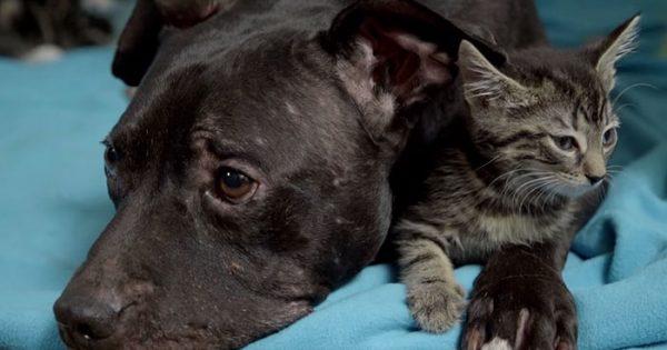 Πιτ μπουλ που διασώθηκε από κυνομαχίες, τώρα περνάει τον χρόνο του αγκαλιά με ένα γατάκι