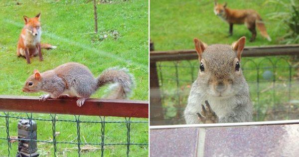 Ξεκαρδιστικό! Ένας σκίουρος χτυπάει το τζάμι ζητώντας απεγνωσμένα Βοήθεια, επειδή τον κυνηγάει μια αλεπού (φωτογραφίες)!