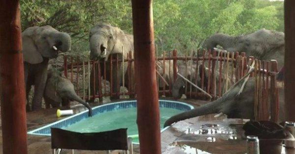 Ελέφαντες… δροσίζονται σε πισίνα οικογένειας (video)
