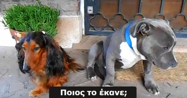 Ρώτησε τα σκυλιά του, ΠΟΙΟ από τα 2 του έφαγε τα παπούτσια. Η αντίδραση του ενόχου; Θα σας αφήσει άφωνους!