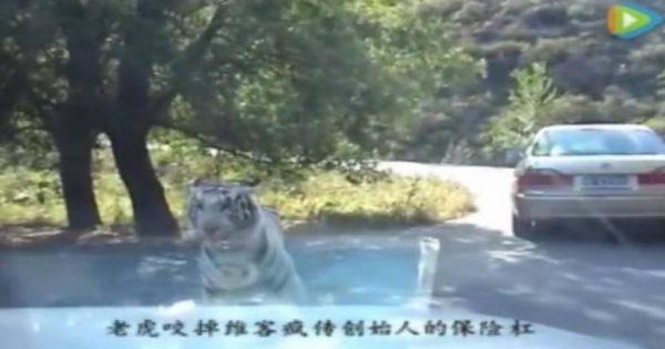 Τρόμος σε σαφάρι- Δείτε τι έκανε μία πεινασμένη τίγρης (video)