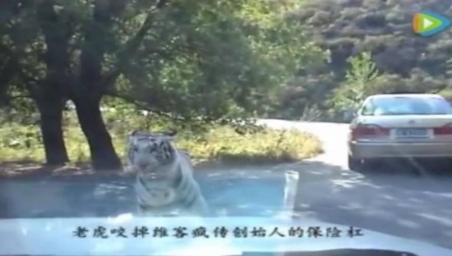 Τίγρης πεινασμένη τίγρης