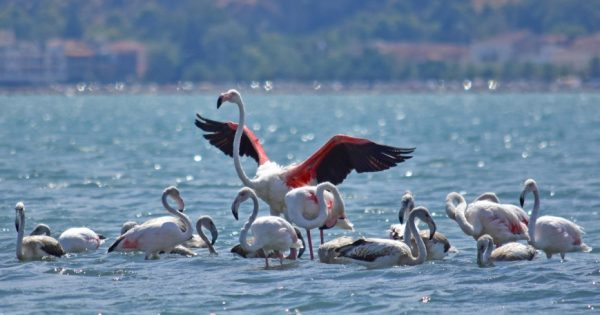 50 υπέροχα φλαμίνγκο σταμάτησαν για ξεκούραση στο Ναύπλιο