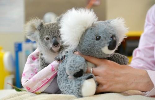 1064602_koala01