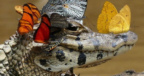 Άγριος κροκόδειλος φοράει στέμμα από πεταλούδες και δείχνει την καλή του πλευρά