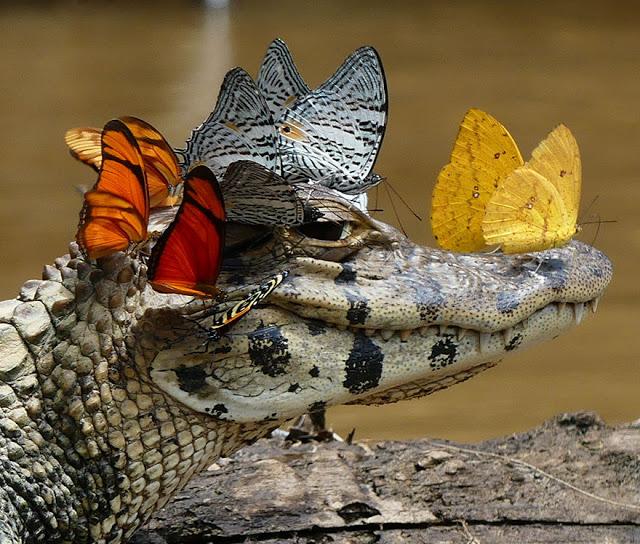 πεταλούδες κροκόδειλος