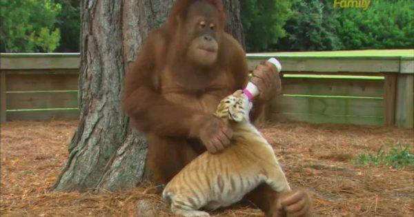 Τα παράξενα της φύσης! Ουρακοτάγκος φροντίζει μικρές … τίγρεις (video)