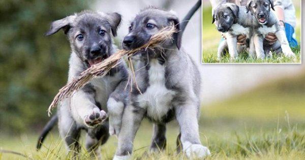 ΑΠΙΣΤΕΥΤΟ..! Αυτά τα 2 πανέμορφα κουτάβια είναι τα πρώτα πανομοιότυπα δίδυμα σκυλάκια που έχουν γεννηθεί ποτέ!
