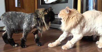 Το αποτυχημένο πείραμα με το κούρεμα της γάτας