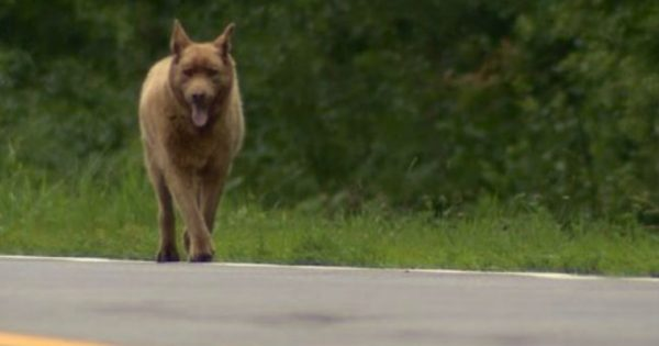 Κάθε μέρα αυτός ο σκύλος περπατά 6,5 χλμ. – Όταν μάθετε το λόγο, θα ενθουσιαστείτε! (video)