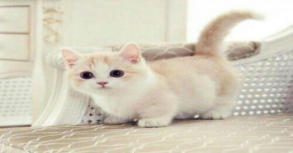 Κι όμως υπάρχουν! Οι γάτες αυτής της ράτσας δεν μεγαλώνουν ποτέ και παραμένουν για πάντα γατάκια..!! Τέλειο;