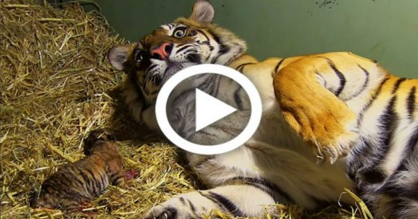 Τίγρης γεννάει αλλά μόλις οι φροντιστές βλέπουν κάτω από τα πόδια της τα χάνουν (Βίντεο)
