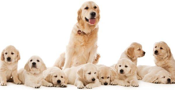 Όλα όσα θέλετε να ξέρετε για την κύηση του σκύλου σας