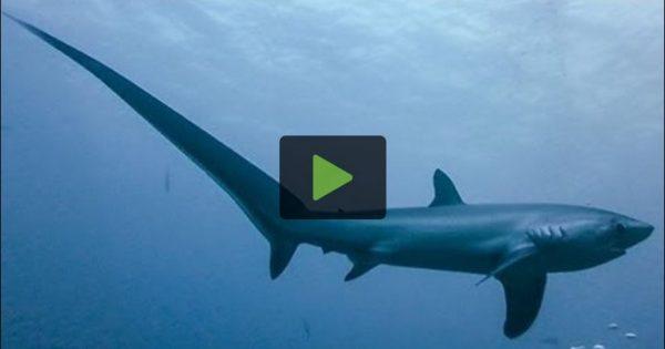 Ο δολοφόνος καρχαρίας που σκοτώνει τα θύματά του με την ουρά του!
