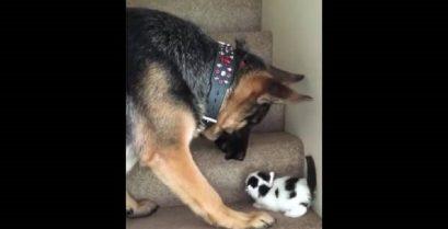 Σκύλος βοηθά ένα γατάκι να ανέβει τις σκάλες