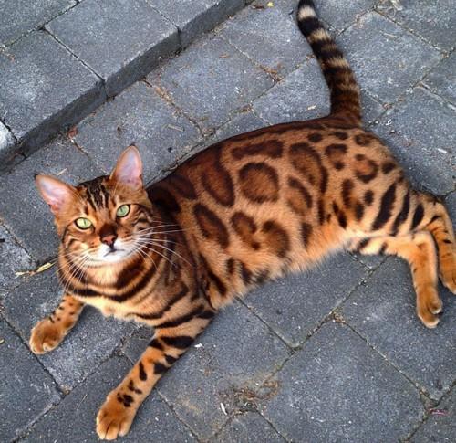 γούνα γάτα Βεγγάλης