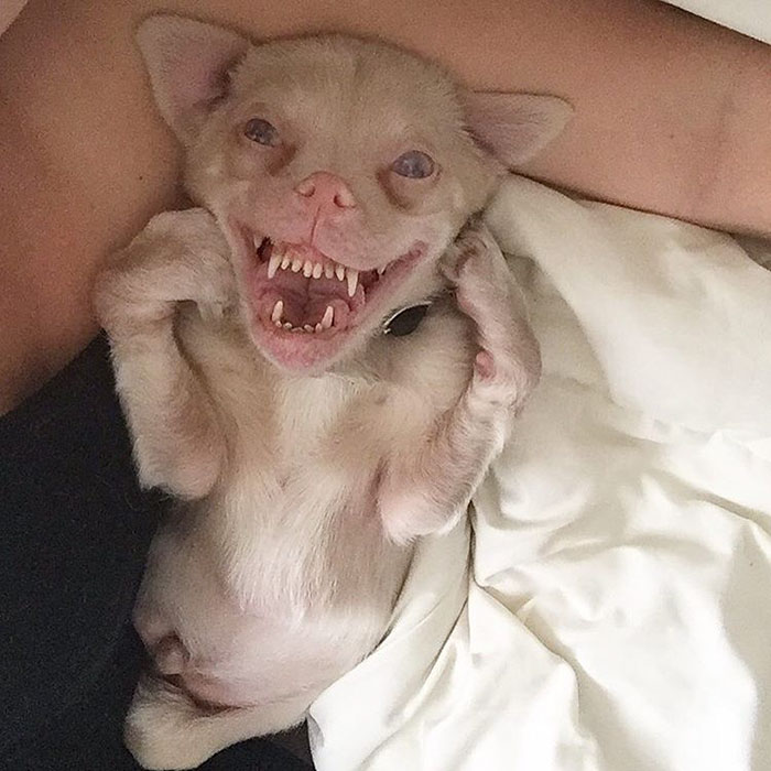 τσιουάουα Σκύλος νυχτερίδα Σκύλος νυχτερίδα αλμπίνο Τσιουάουα αλμπίνο Instagram